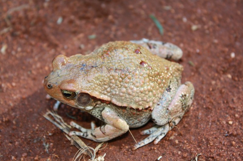 red_toad